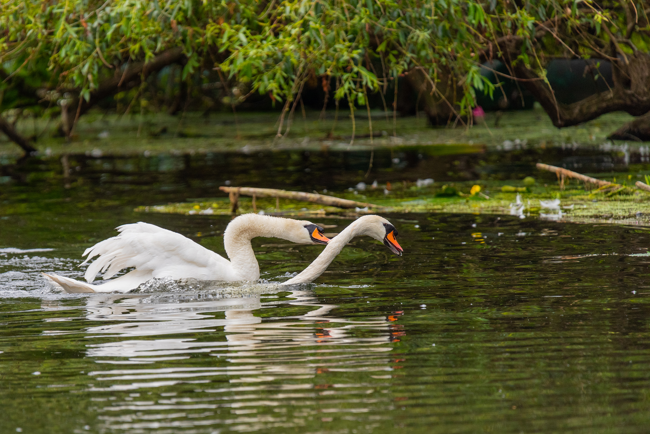 Swans on River Great Ouse, Bedford