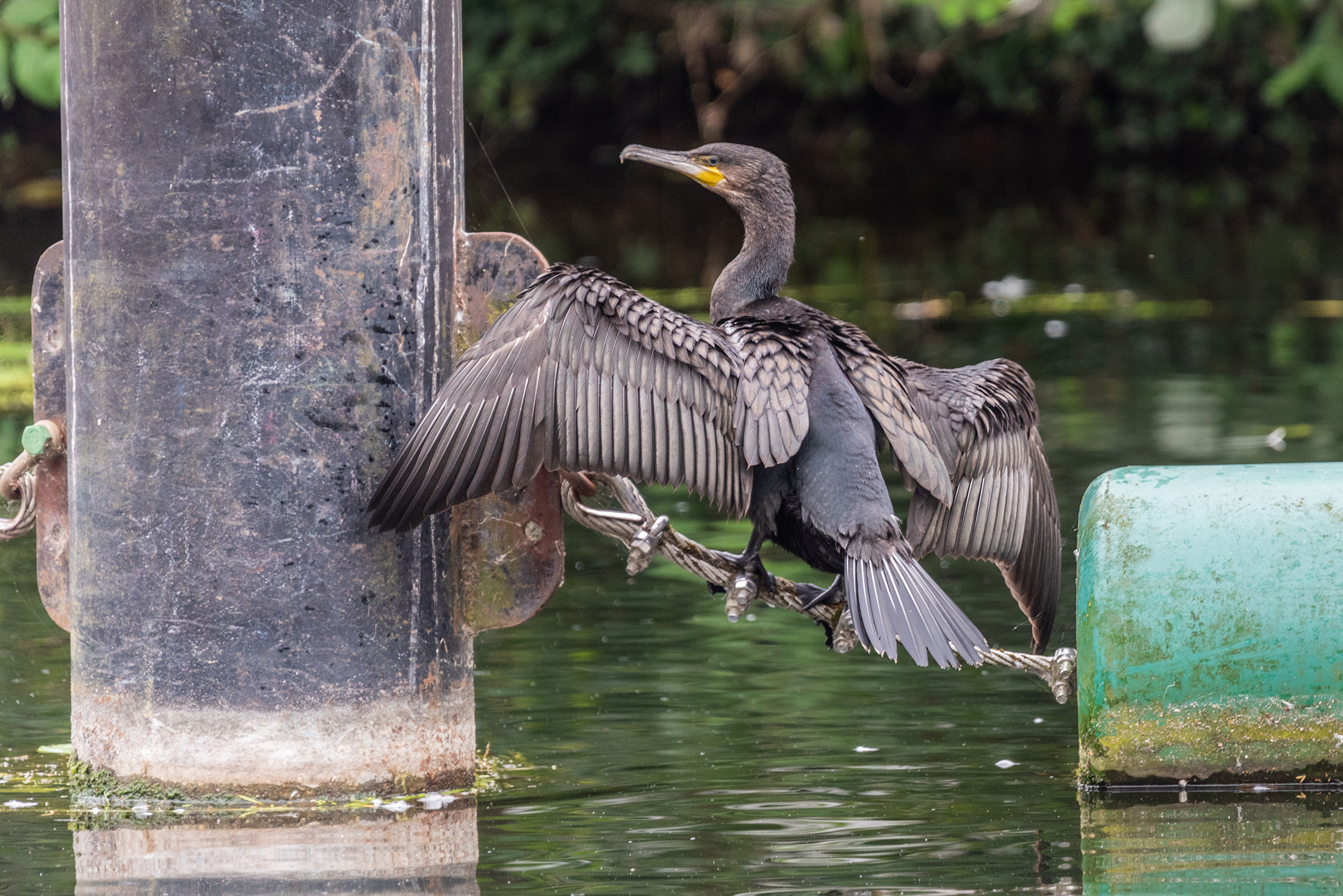 Cormorant, River Great Ouse, Bedford