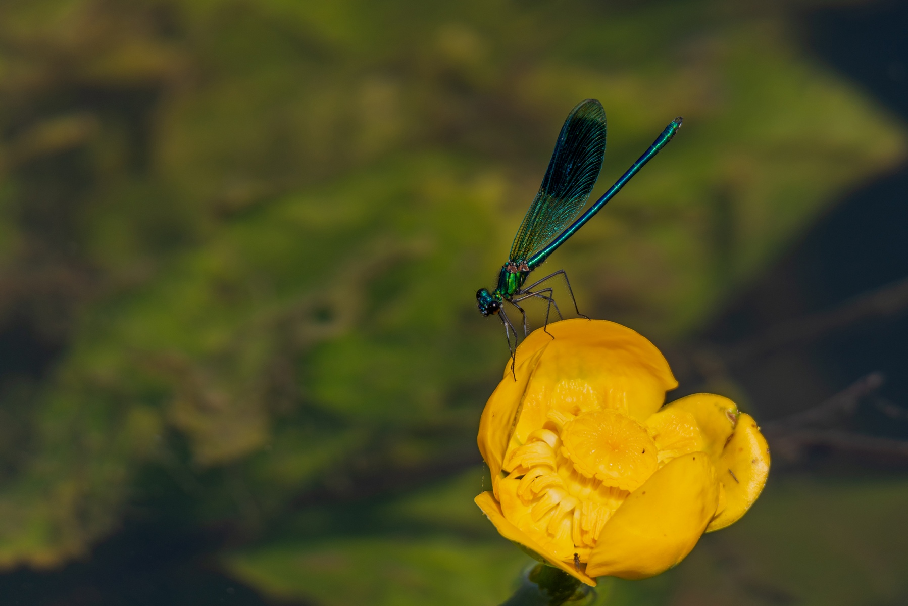 Dragonfly, River Great Ouse, Bedford