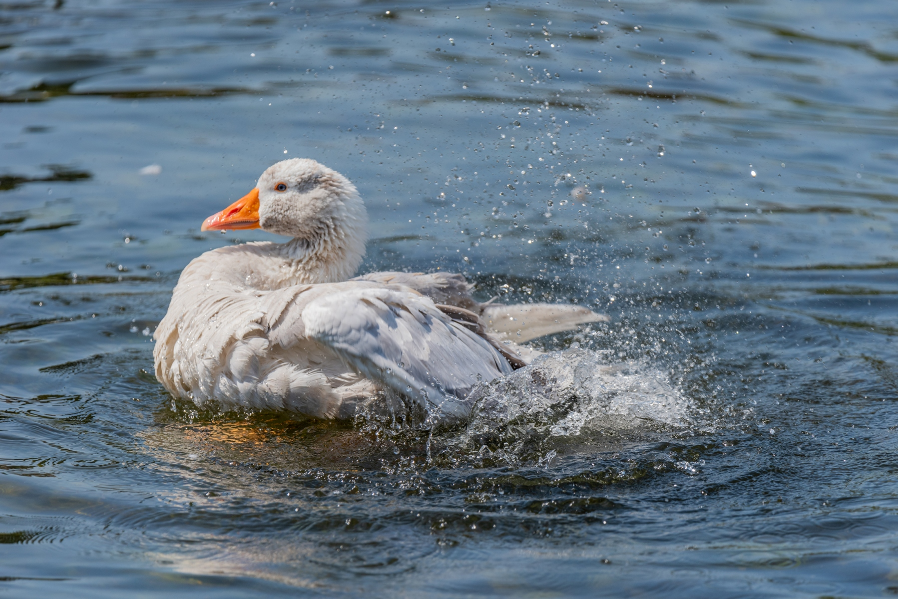 Goose, River Great Ouse, Bedford