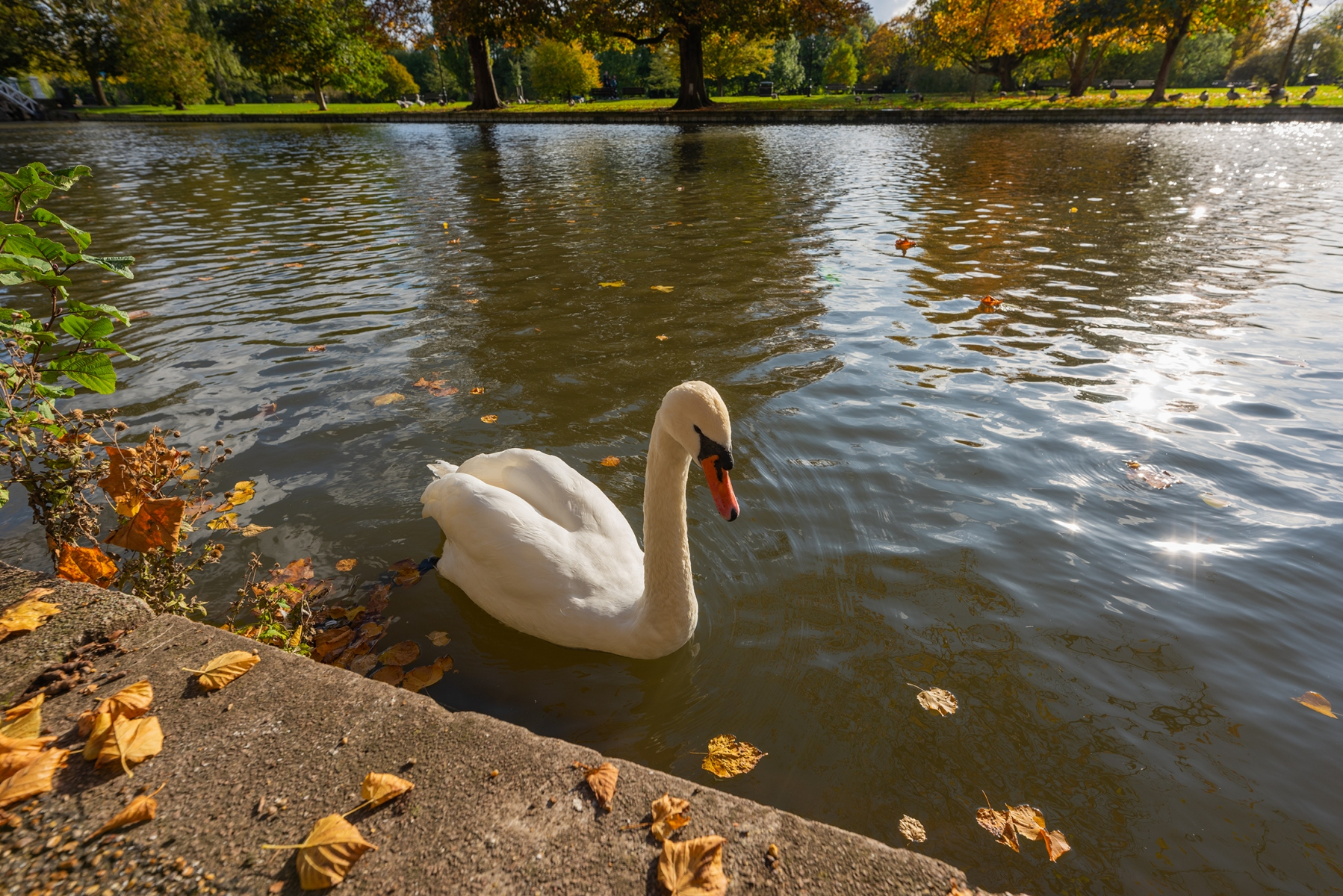 Swan on River Great Ouse, The Embankment, Bedford in Autumn