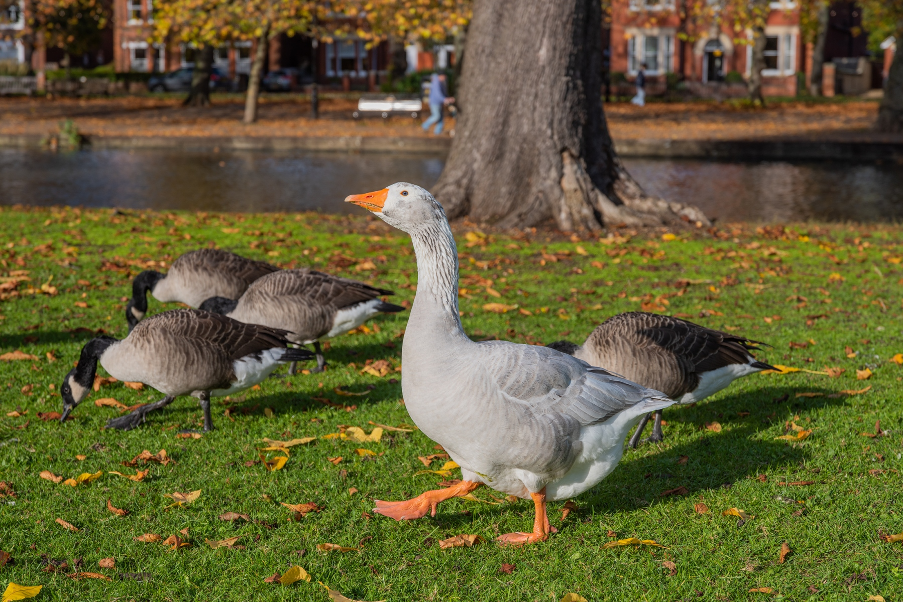 Geese, The Embankment, Bedford in Autumn