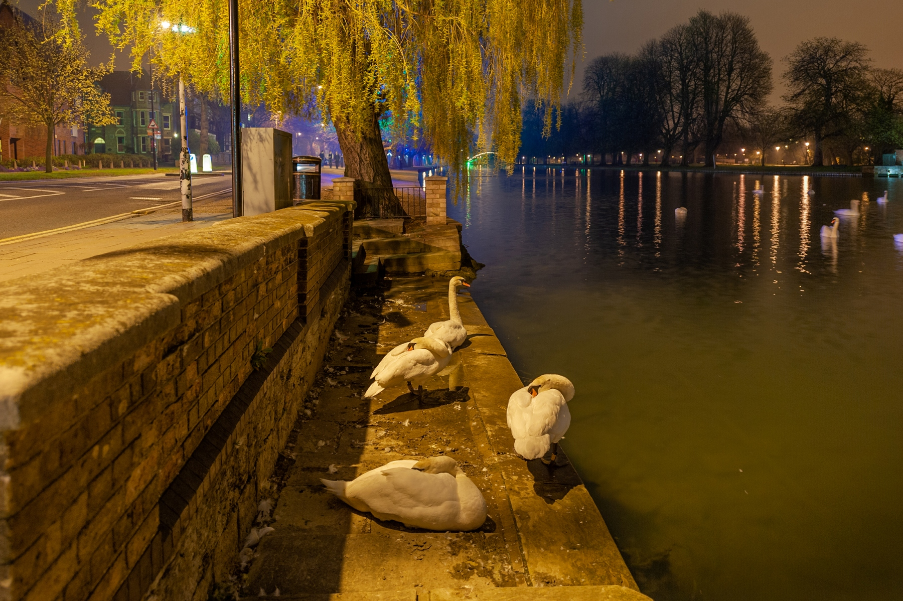 Swans, River Great Ouse, Bedford at night