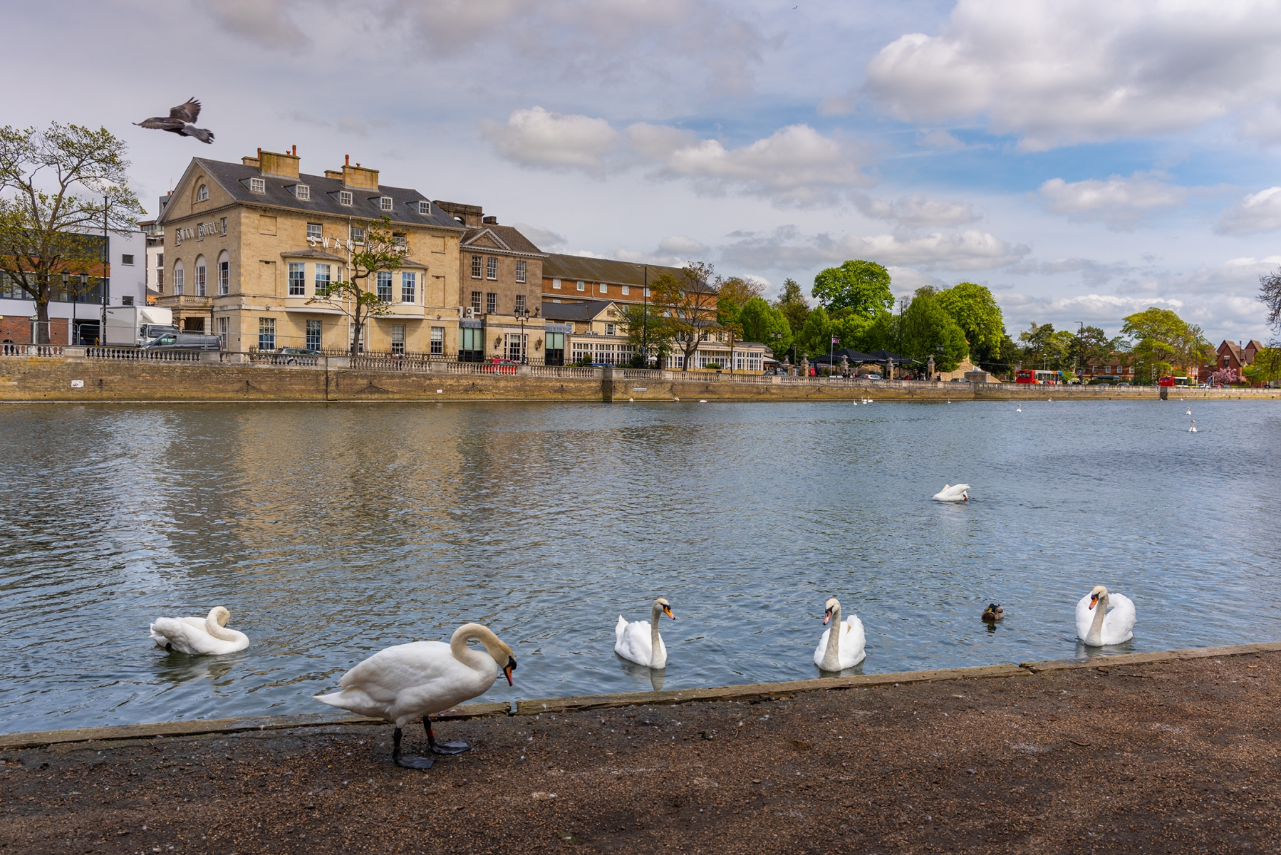 Views of the swans on and around The Embankment and River Great Ouse, Bedford